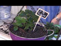 Repurpose an old colander from #Goodwill into a planter for strawberries.  It's a cool way to repurpose items, watch my video...