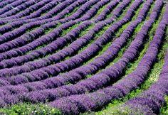 my french life... violet...  www.amazon.com/...