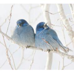 Beautiful little Mountain Bluebirds snuggle together.