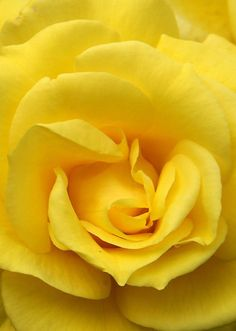 yellow rose--my most favorite color of rose!