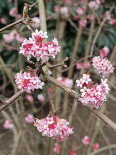 Viburnum bodnantense 'Dawn' in bloom at NYBG 2/21/12.  So wonderfully fragrant!
