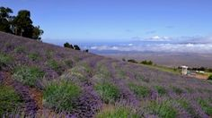 Lavender farm on Maui