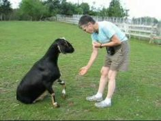 Clicker trained goat, This is the cutest thing ever!! Gotta see if my goats would react to the clicker!!