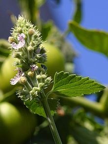 Catnip!   Nepeta cataria -- makes cats go crazy, very easy to grow, and obviously fragrant. It is also a great flower to grow to attract butterflies as it produces many many small purple flowers. Generally reseeds itself, and can come back year after year.