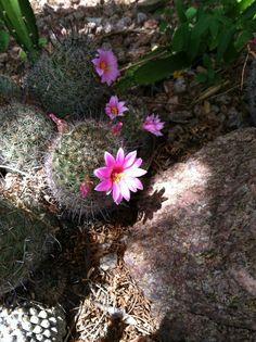 Arizona Fishoook Cactus (Mammillaria grahamii)