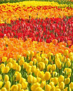 field, kennett squar, color, tulip, sea