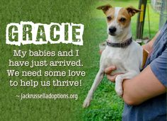 Today's featured Jack Russell rescue for foster or sponsorship - Gracie!