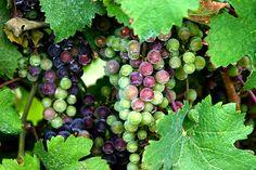 loudoun wine, breaux vineyard, grape grow, virginia wineri