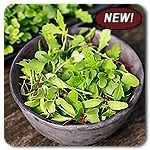 Organic Mild Mix Micro Greens - A vibrant mix of colorful greens chosen for their fine flavors, variety of leaf textures, and similar growth rates.