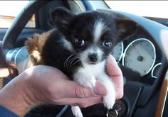 Cute little long haired chihuahua i need to stop looking at all these cuties
