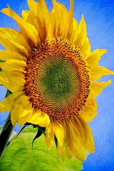 Hot Summer Sunflower by Christina Rollo