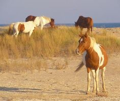 Chincoteague Island... hope to get back there soon.