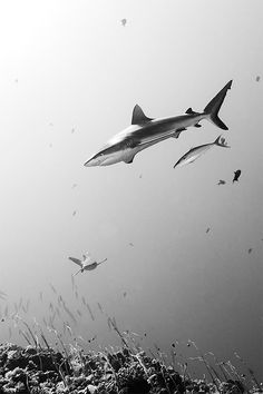 Sharks in black and white