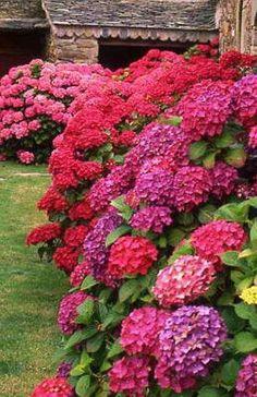 Red hydrangeas have