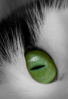 """""""In a cat's eye, all things belong to a cat."""" --British Proverb draw, cats eyes, cat eyes, british, green eyes, beauty, thing belong, fan, baby cats"""