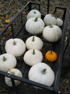 a little obsessed with white pumkins...