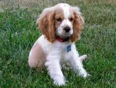 Welsh Springer Spaniel Puppy