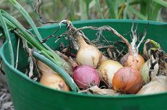 Keeper Crops - How to store the summer harvest for the winter kitchen.  Potatoes, Onions, Winter Squash, Garlic - Growing and Storing Tips.   	  	  		How to store the summer harvest for the winter kitchen