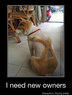 anim, shiba inu, laugh, dogs, pet, funni, poor dog, puppi, thing
