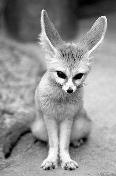 Fennec Fox (Vulpes zerda), native of the Sahara, North Africa. ☀