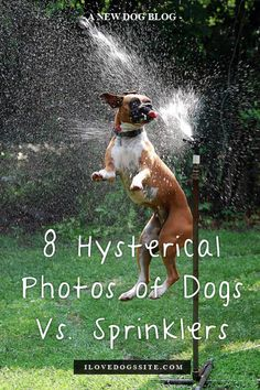 Number 5 is awesome. You'll see what I mean!! http://theilovedogssite.com/8-hysterical-photos-of-dogs-vs-sprinklers/