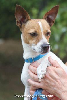 Adoptable Jack Russell Terrier, Sasha, Georgia Jack Russell Adoptions | Georgia Jack Russell Rescue, Adoption and Sanctuary