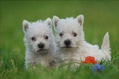 """West Highland White Terrier Puppies """"Westie's"""" - by Waldek Dąbrowski Photography"""