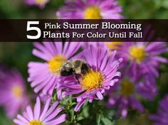 5 Pink Summer Blooming Plants For Color Until Fall