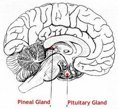 """The Pineal Gland is step down transformer which converts the extremely rapid electro-magnetic motions of our light bodies into frequencies which our physical brain can interpret in the form of mental images. The Pineal gland is a self reflective optical organ. It is looking at itself from all directions inwardly and seeing through prismatic calcium carbonate crystals coating the receptors, the inner light of mental images, produced by our """"Light Bodies""""."""
