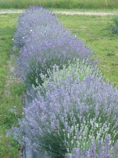 "Lavandula angustifolia 'Munstead Dwarf' 12-16"" x 16-20"" Violet blue flowers  Munstead' is the most winter hardy of all the lavenders."