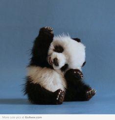 Baby Panda says Hiiiiii!