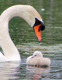 Beautiful Swan and cygnet.