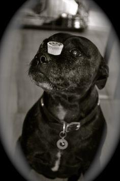Staffordshire Bull Terrier:)