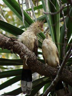 Anu Branco(Guira guira)