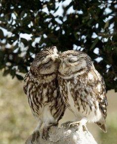 Kissing owls <3