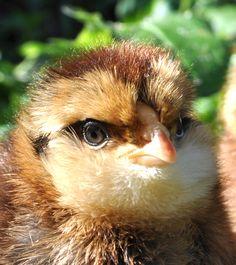 Precious Barthuhner chickie | Greenfire Farms