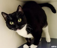 It's Adopt a Shelter Cat Month - consider a senior cat! Simbasa's a big, gentle girl who's 8 years old. She enjoys snoozing on a large pillow by the window, but she'll gladly wake up for a tasty treat and a nice long petting session.