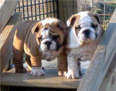 bulldogs -
