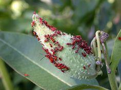 milkwe bug, habitat garden, bug nymph