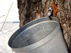 Tap That Tree: Where to Go Maple Sugaring