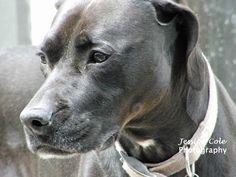 Kona (Black Lab Boxer Mix) Beautiful Pup | Jessica Cole Photography