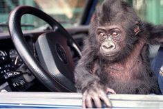 10 Bizarre Driving Laws From Around The World! Find out why Massachusetts is monkeying Around! #bizarre #carfacts #spon