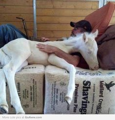 Foal sleeping with his owner