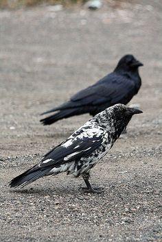 Crows Ravens: Rare piebald raven.