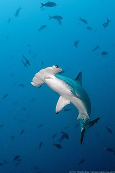 Hammerhead.  Did you know there are about 8 different species of hammerhead sharks?!