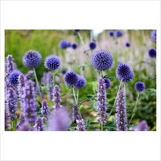 Agastache 'Blue Fortune', Echinops ritro 'Veitch's Blue' and Veronicastrum 'Lavendelturm' - RHS Wisley.  For more inspiration on planting design take part in http://www.my-garden-school.com/course/designing-with-plants/