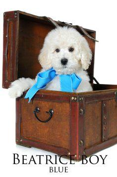 "A Precious Little ""Teddy Bear Goldendoodle"" from Smeraglia"