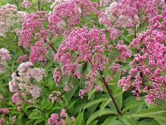 Joe-pye weed: A staple in butterfly gardens, joe-pye weed is known for its tall, stately habit, attractive foliage and oversized flower clusters that appear in midsummer and typically last until hard frost. Plant in moist soil. Varieties range from 2 to 6 feet tall. USDA Hardiness Zone: 3 to 10
