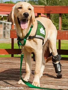 Pirelli the 7 month old pup was born without a back paw. He now wears a prosthetic boot to help him walk and help those in need since he is training to be a service dog