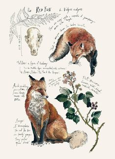 Printed on Natural Savoy Cotton Paper, this print features one of my Natural Science journal entries of the Red Fox. Originally drawn in watercolor and ink. Dimensions: 5 x 7